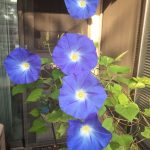 Blue morning glory blooms