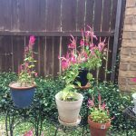 Pink celosia flowers in pots